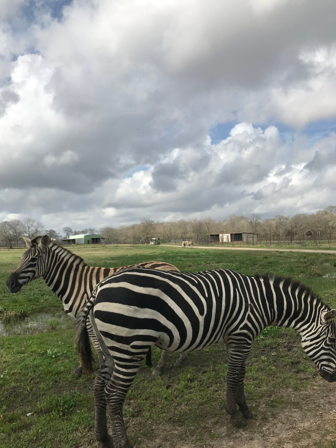 Zebras at the best open range Zoo in Alvin, Texas - Bayou Wildlife Zoo